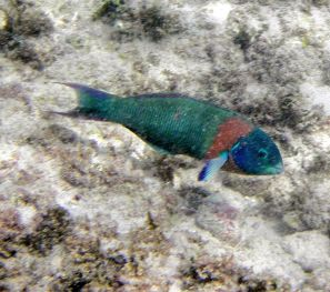 Saddle  Wrasse