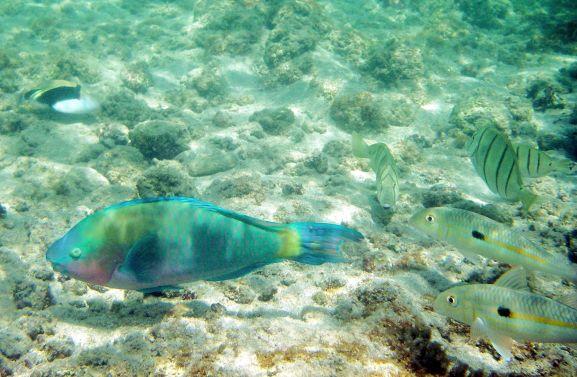 Parenose ParrotFish