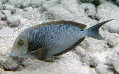 Blueline SurgeonFish