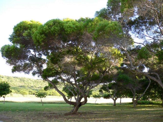 ダイアモンドヘッド内の木々